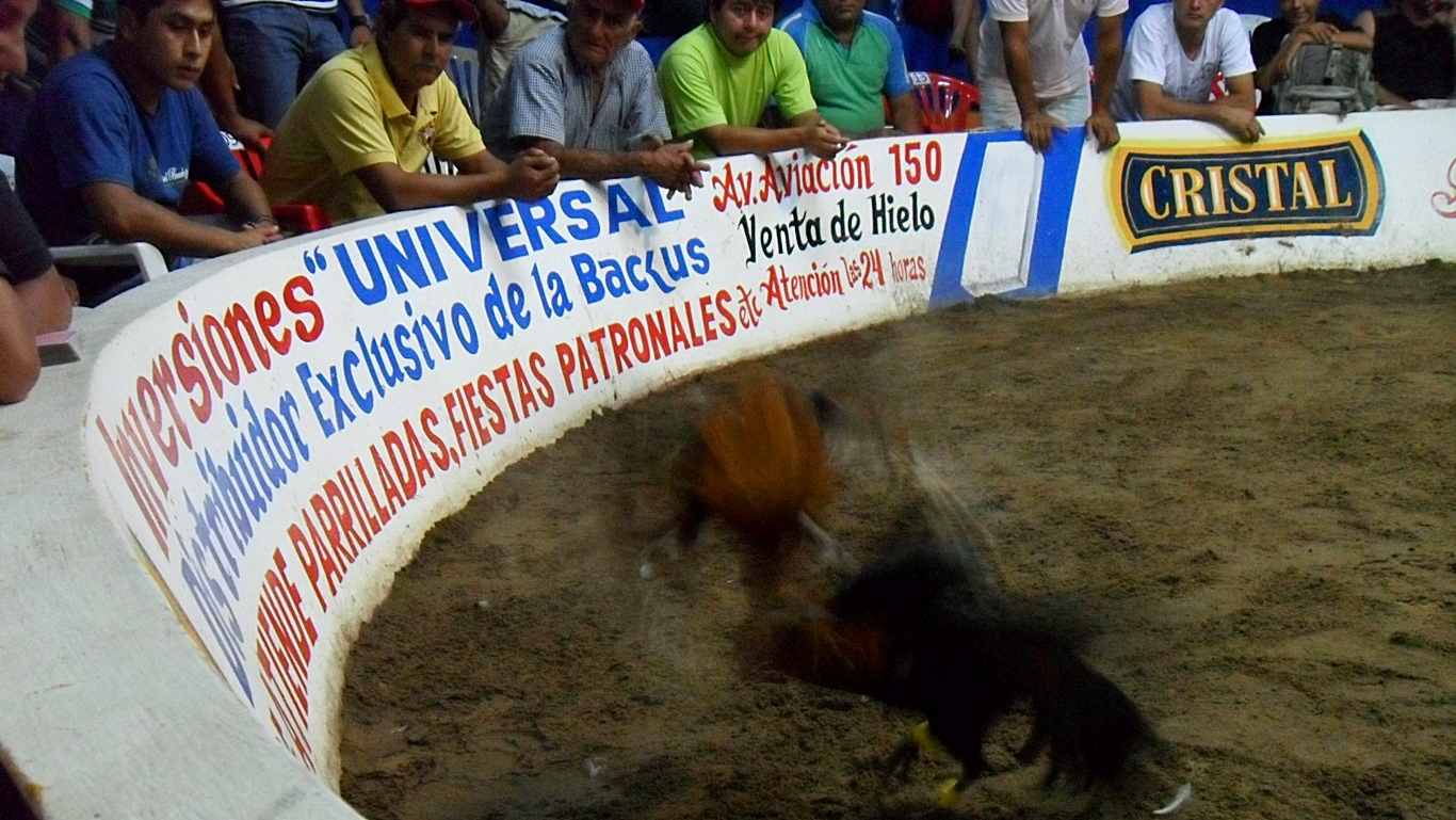 Spectators watch cockfighting in Peru