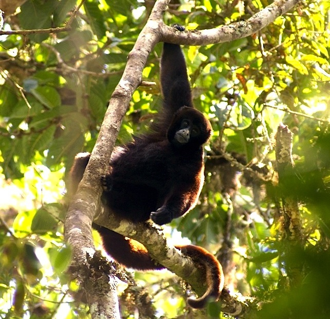 Endangered species in peru woolly monkey